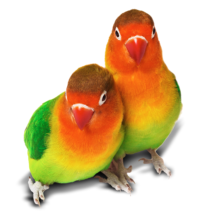 lovebirds 01